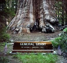 Top 12 maiores árvores do mundo