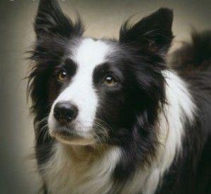 Top lista de 12 raças de cães mais bonitos