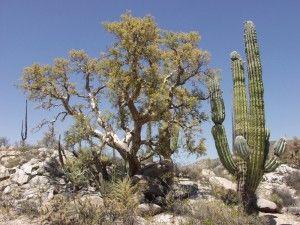 Top 9 plantas comumente encontrados em desertos